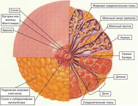 Анатомическое строение паренхимы молочной железы